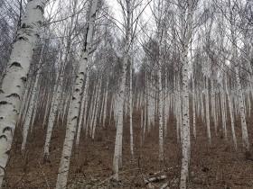 경북도, '영양자작나무숲'국가지정 명품숲으로 선정