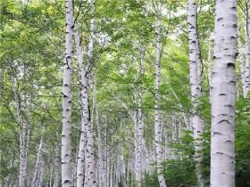 영양 자작나무숲 국비 공모사업 선정