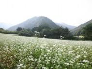 가을 문턱에서 만나는 하얀 눈꽃송이, 영양은 지금 메밀꽃 필 무렵